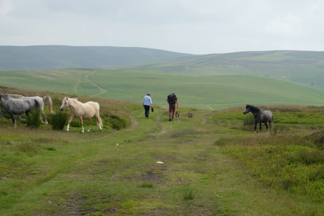 Welsh ponies and walkers