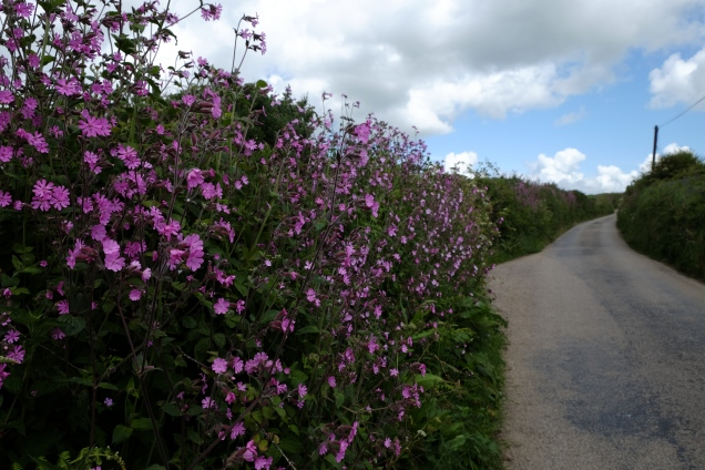 pink wild flowers, campion, road, lane, sky