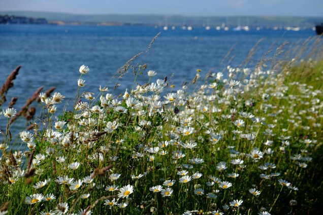 Daisies, sea, estuary, boats, Instow,Tarka Trail