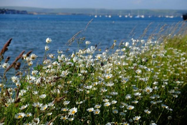 Daisies, sea, estuary, boats, Instow,Tarka Trail