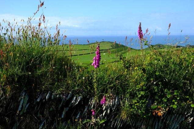 Greenbank, sea view, foxgloves