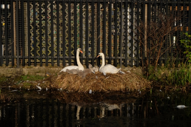 swans nesting on canal