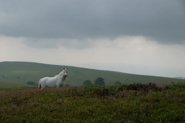 Welsh grey, white pony, dark cloud, dark moorland