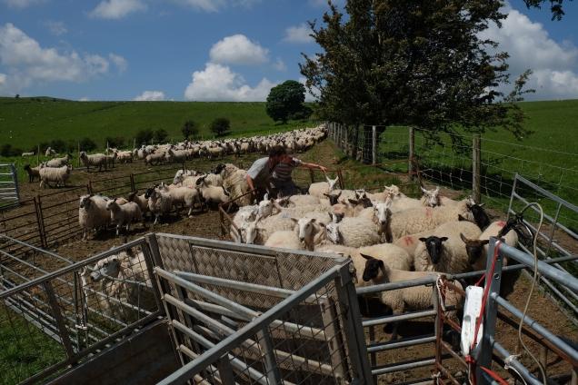 DSCF9045 preparing sheep for shearing © James Forshall