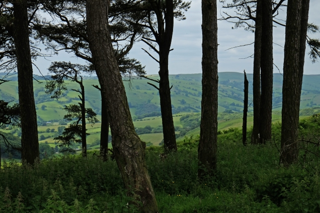 Offa's Dyke north of Knighton, view of hills framed by trunks of pine trees