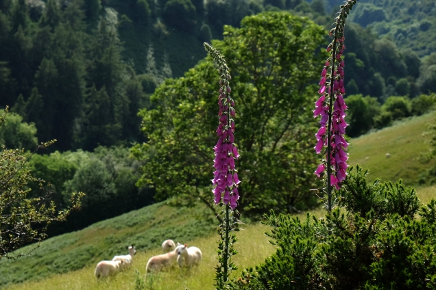 Foxgloves, sheep, Offa's Dyke
