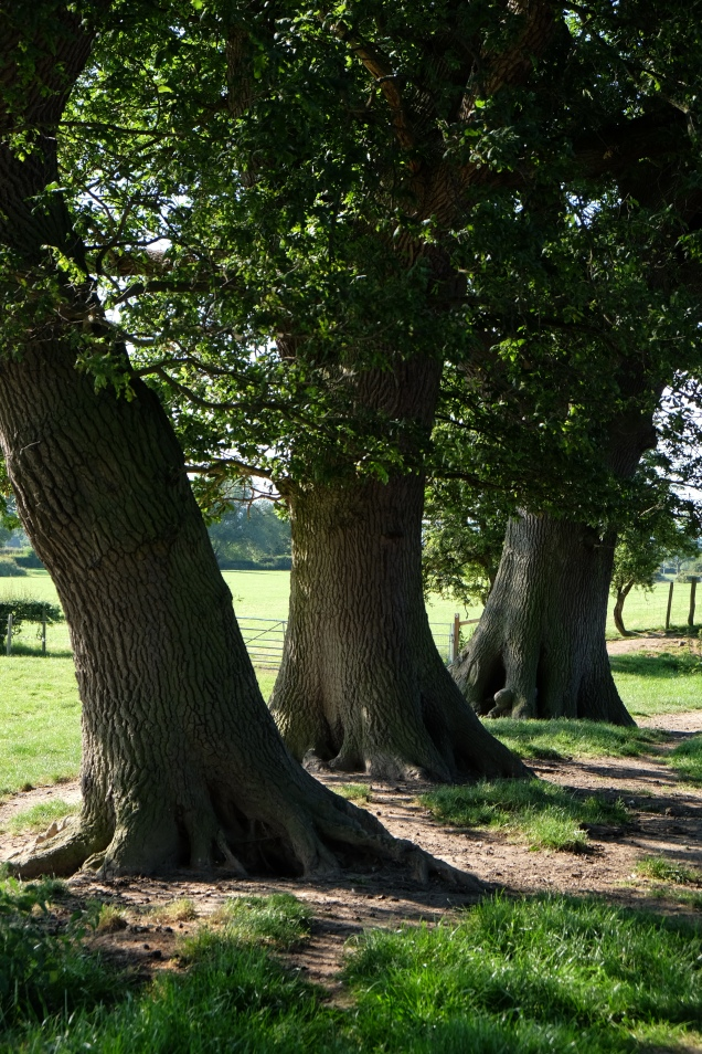 Oak Trees leaning at different angles on Offa's Dyke trail