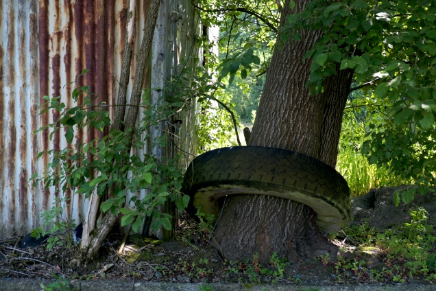 corrugated metal tyre through which a tree is growing