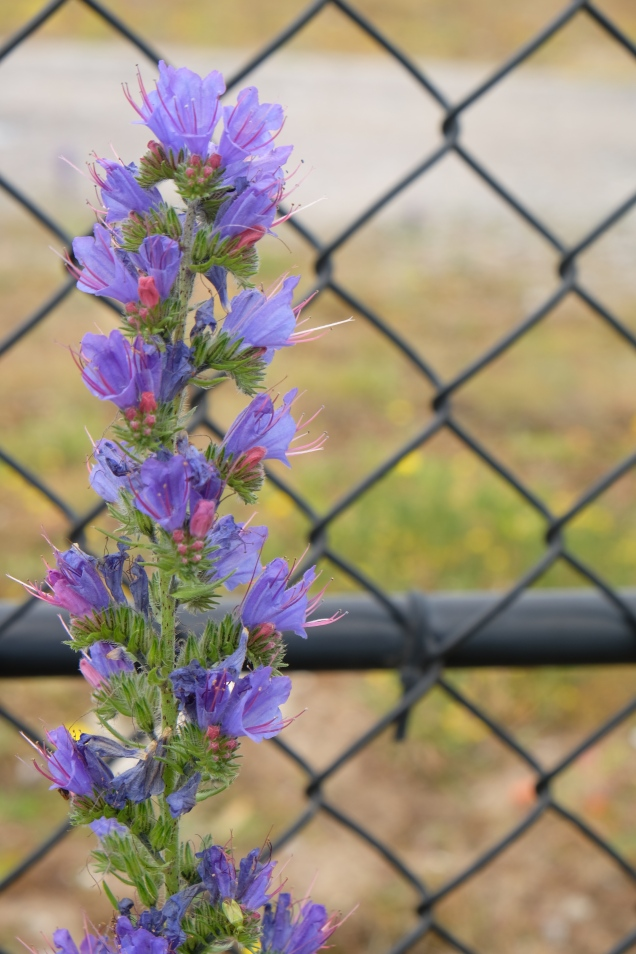 Vipers bugeloss, chain link fence