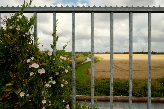 View of cornfield through metal railings with convovula on left