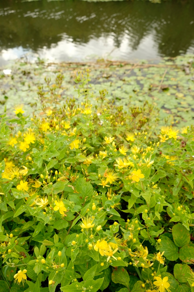 yellow flowers by canal