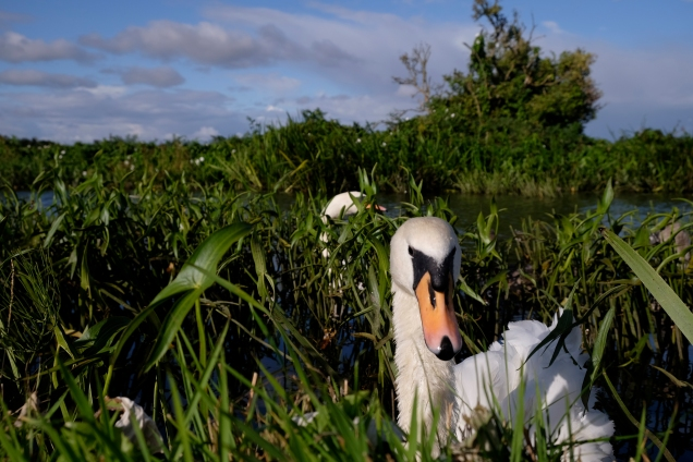 Swan, Leeds Liverpool Canal