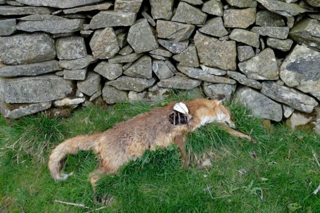 Dead fox by stone wall