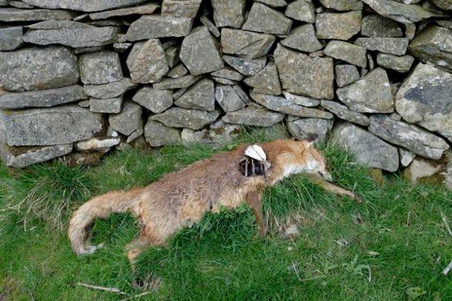 Dead fox by stone wall