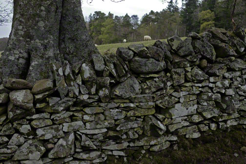 Beech tree trunk behind stone wall or dyke covered in lichen, sheep and meadow in background