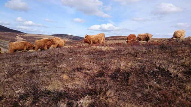 Highland Cattle, grazing on heather