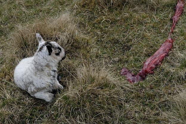 New born lamb, grass, moorland, afterbirth