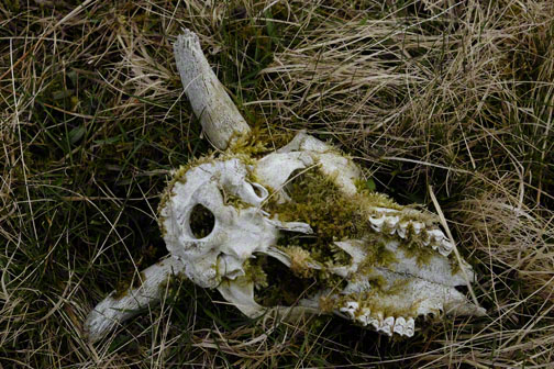 sheep skull with moss